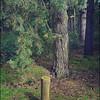 Pine forest, Shouldham Thorpe